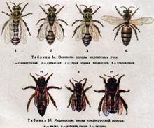 Морфогенетическая характеристика медоносной пчелы Пермского края